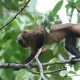 Brown-Capuchin-Monkey