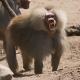 Hamadryas-baboon-1