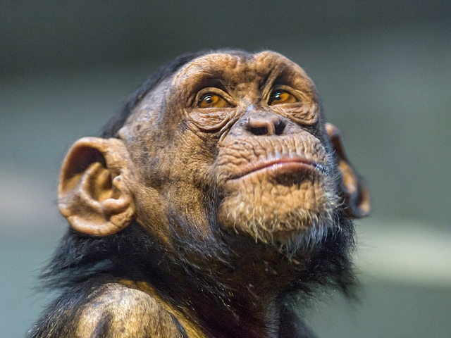 Young chimpanzee looking above