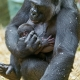 Baby-gorilla-with-mother