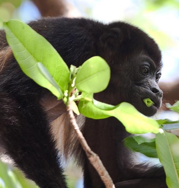 Mantled-Howler-Monkey-1