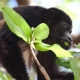 Mantled-Howler-Monkey-1