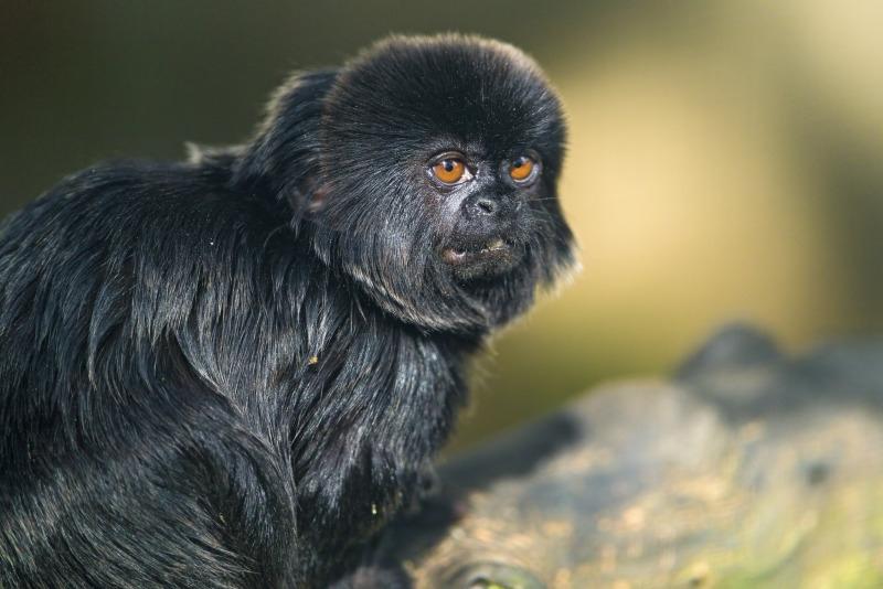 Goeldis marmoset in Switzerland zoo