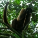 The Brown Woolly monkey resting on a stick