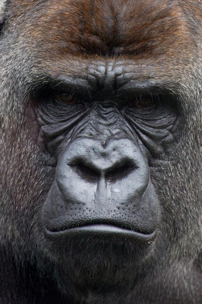 Silverback Gorilla in Blijdorp