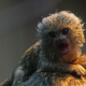Baby Marmoset riding