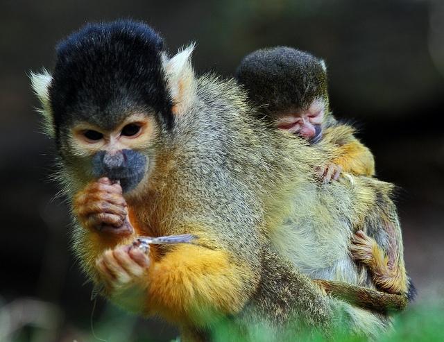 Squirrel-Monkeys