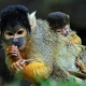 Squirrel-Monkeys