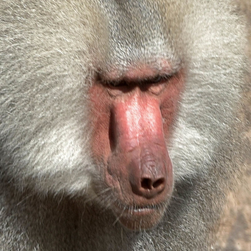 Handsome Baboon in the Berlin zoo