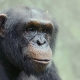 Chimp-portrait-1