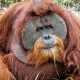Sumatran Orangutan concentrating hard