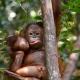 Orangutan-pulling-a-face
