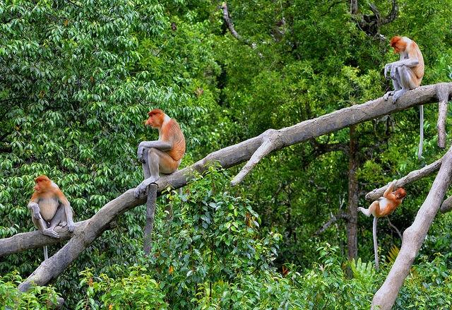 Family-of-four-Proboscis-Monkeys