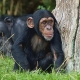 Baby Chimpanzee next to tree