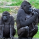 Gorilla Jealousy in the family