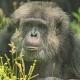 Moody Chimpanzee Face