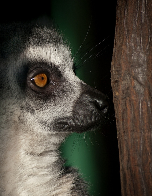 Portrait-of-a-Ring-tailed-Lemur