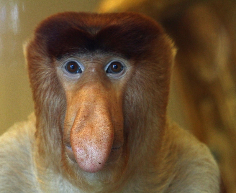 Proboscis Monkey with hypnotic eyes