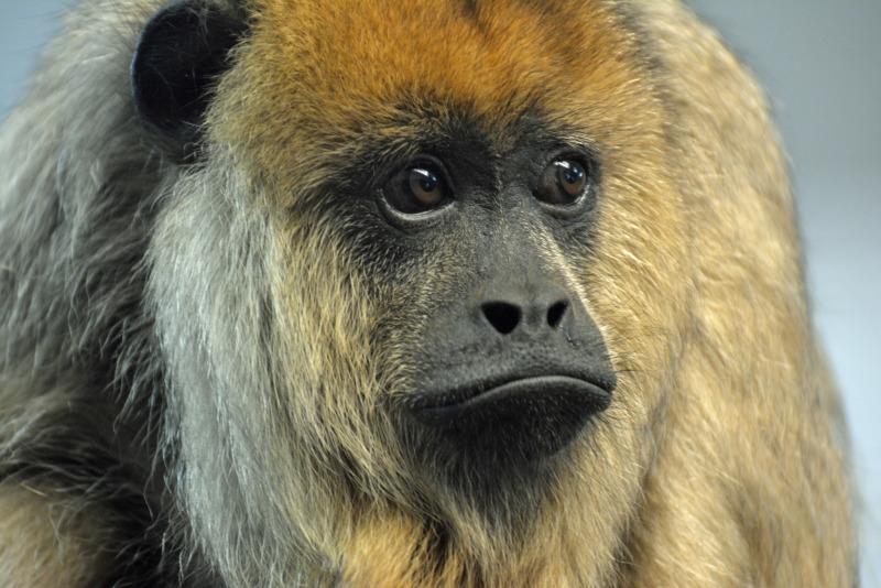 Black Howler Monkey Staring