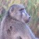 Kruger National Park, South Africa Baboon