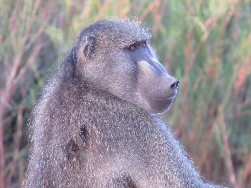 Kruger National Park, South Africa Baboon