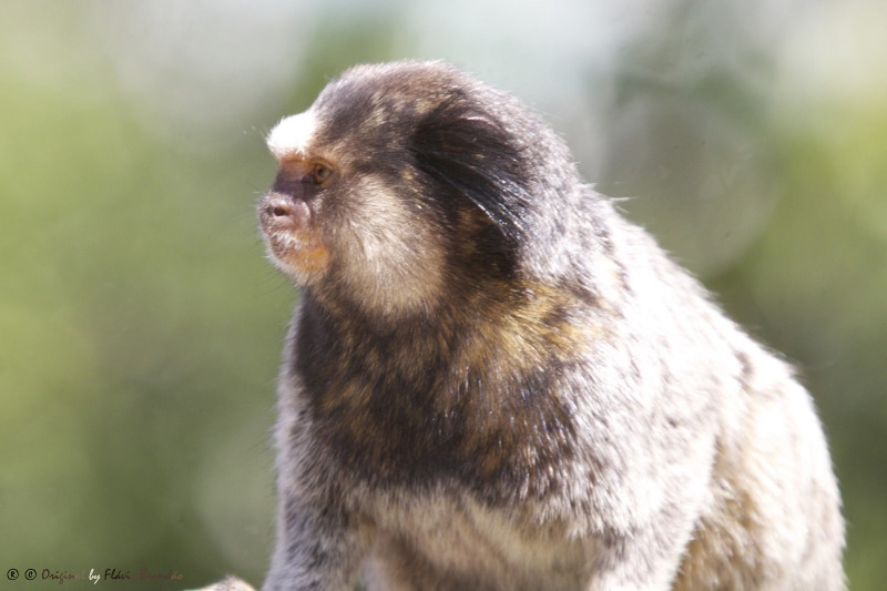 Black-tufted Marmoset looking slightly fat