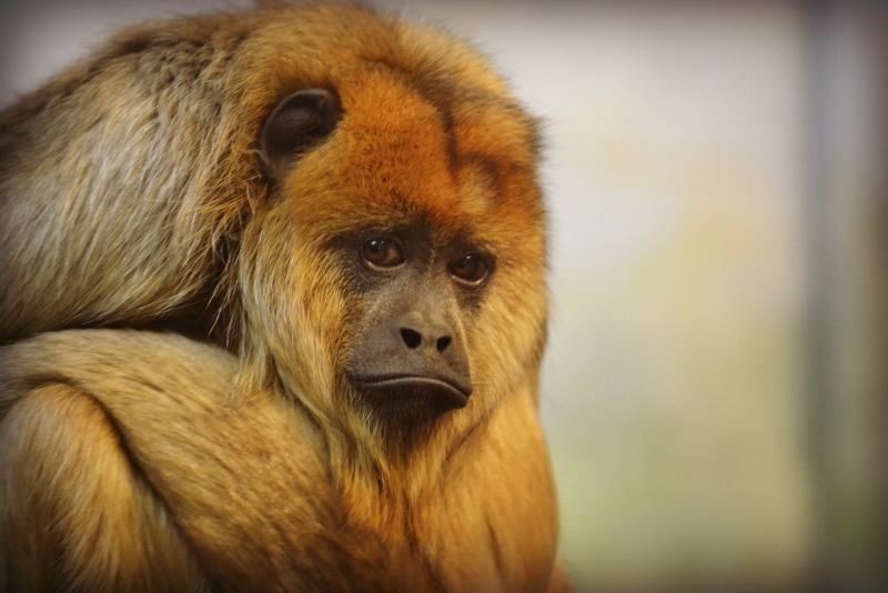 This female howler monkey didnt seem very happy this afternoon