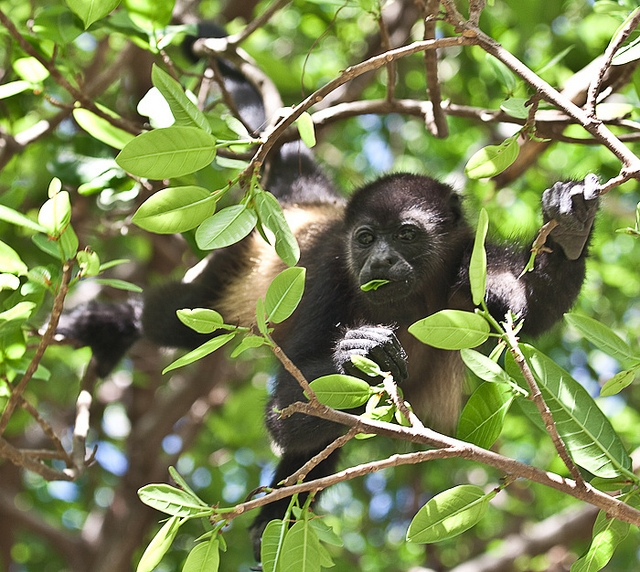 Mantled-Howler-Monkey-13