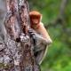 Proboscis-Monkey-hides-1