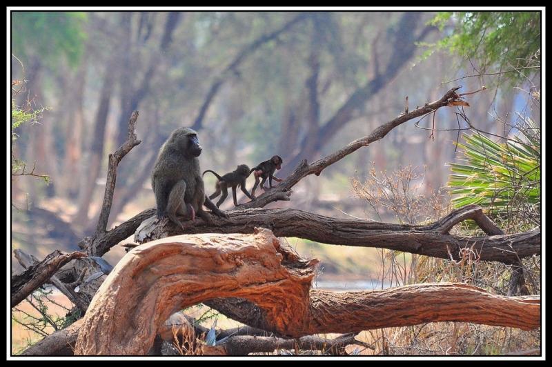 Olive Baboon and infants in Samburu