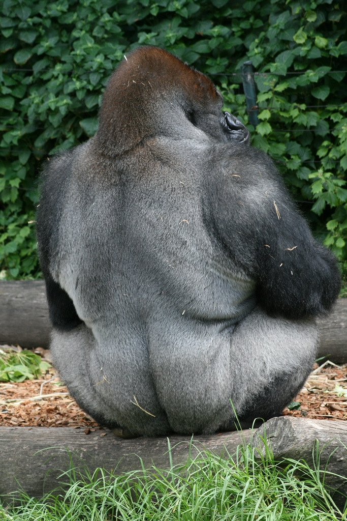 Gorilla showing his back