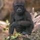 Sweet baby Western Lowland Gorilla