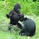 Gorilla-en-kuifmanagbey-gaiapaerk