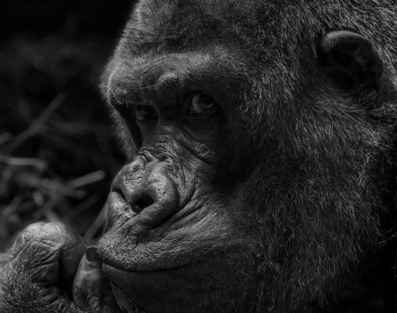 Western lowland gorilla at Antwerp zoo.