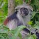 The Zanzibar Red Colobus