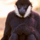Sitting-black-male-gibbon