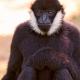 Sitting-black-male-gibbon
