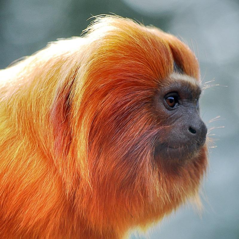 Beautiful portrait of a Tamarin monkey