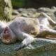 Funny young hamadryas baboon
