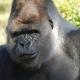 Portrait of a gentle Gorilla