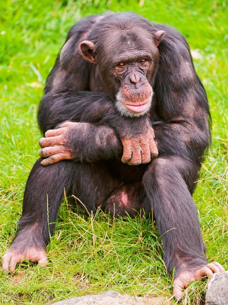 Male Chimpanzee sitting and thinking