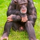 Male Chimpanzee sitting and thinking
