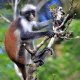Zanzibar-red-colobus-monkey