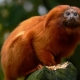 Golden Tamarin staring in the Neherlands