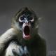 Geoffroy's-Spider-Monkey