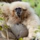 White Handed Gibbon all huddled up