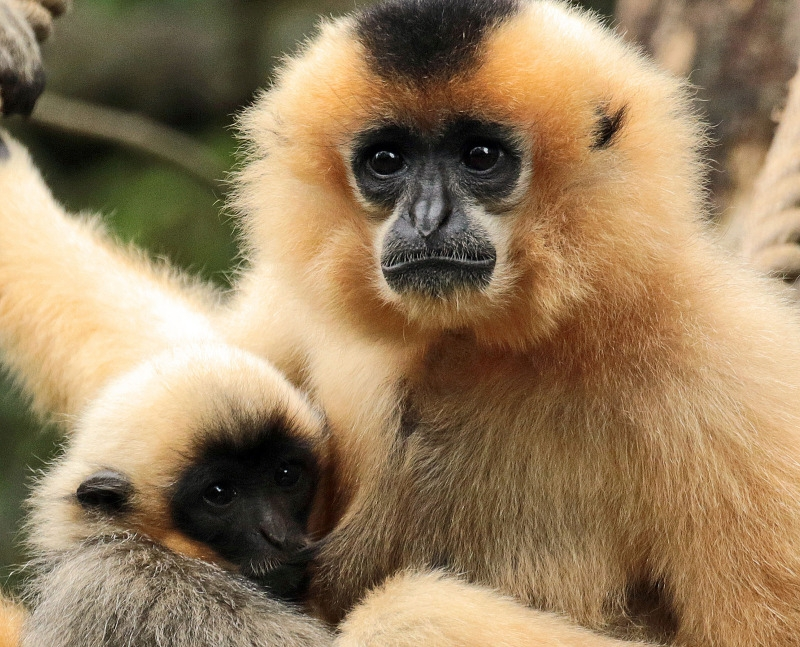 Mother and baby White Gibbons