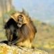 Gelada-baboon-1