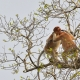 Wild-Proboscis-Monkeys