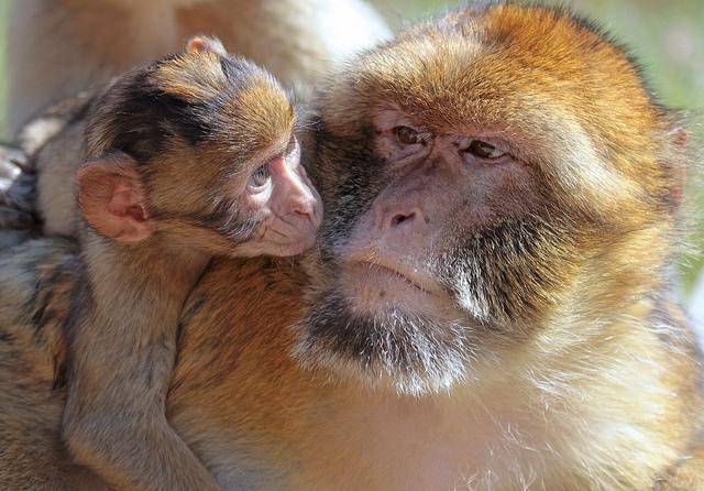 Berberaap-monkey